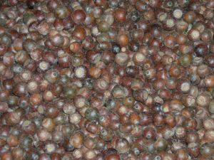 acorns floating in water