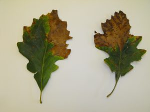Bur oak leaves showing symptoms of Bur oak blight.