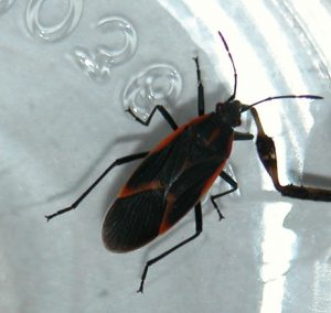 Adult box elder bugs have black and red coloration.