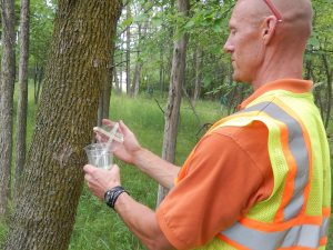 EAB parasitoid adults arrive in cups for release in EAB infested areas.