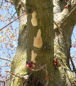 Gypsy moth egg masses are tan colored lumps about the size of a nickel or a quarter. They are usually found on trees but may also be found on outdoor articles such as firewood piles, bird houses and picnic tables.