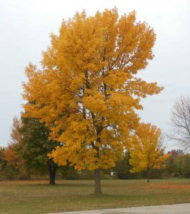 A yellow ornamental ash tree at peak fall color. This tree is worth treating to protect it from being killed by emerald ash borer.