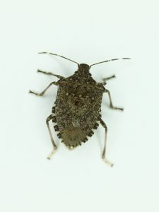 An adult Brown Marmorated Stink Bug. Adults are ½ to 5/8 inch long, shield-shaped, mottled brown to gray with light and dark banding on the antennae and alternating light and dark spots on the end of the abdomen.