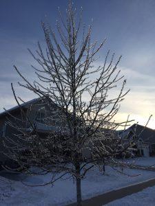 Ice coating an urban tree from a late February 2017 storm in south central Wisconsin.