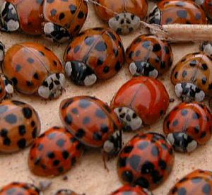 Multicolored Asian ladybeetles have a range of colors and spot numbers.