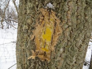 Large Amur cork tree showing characteristic corky bark and bright yellow cambium that help identify this species. Photo by Mike Hillstrom, WI DNR.