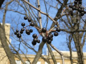 The dark colored fruits of Amur cork tree are readily eaten by birds which then, after the pulp is digested, spread the seeds away from the parent tree.