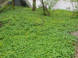 A dense colony of lesser celandine along the Milwaukee River completely carpets the ground. It is the only thing growing where it is present.