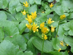 Thick glossy leaves and yellow flowers help identify lesser celandine.