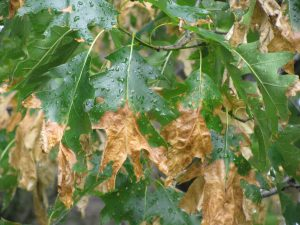 Brown, dead areas of leaf tissue on oak leaves caused by anthracnose.