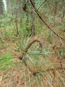 Red pine showing the typical shepard's crook tip caused by the fungus Diplodia.