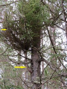 Spruce branches with mistletoe brooms are often thicker (larger yellow arrow) than neighboring branches because the mistletoe diverts food from the tree to itself. The small yellow arrow is pointing at branches within the broom created by the mistletoe.