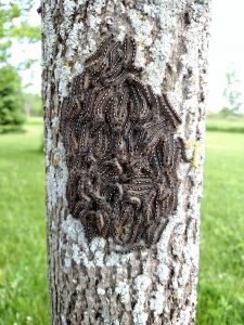 Forest tent caterpillars do not make web nests but may congregate and rest in groups on the bark.
