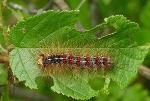 Gypsy moth caterpillar with distinctive blue and red dots