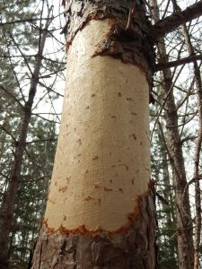 Porcupine damage on red pine trunk.