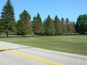 A row of spruce trees with dead branches and missing needles caused by rhizosphaera needlecast.