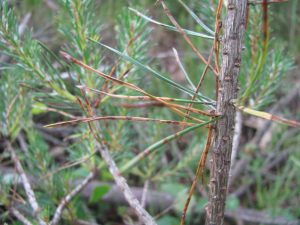 Scots pine needles with fungal spots and dead tissue caused by brown spot needle blight.