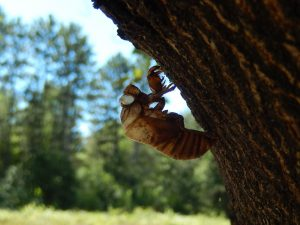 Cicadas emerge from the ground, climb an object, emerge from their exoskeleton, and leave the empty exoskeleton behind after they expand their wings and fly off.