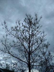Northern red oak leaves tree severely defoliated due to a late frost event. Photo taken May 29, 2017 (same tree as other pics in this article).