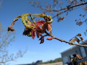 Northern red oak sending out new leaves due to severe defoliation from a late frost event. Photo taken June 2, 2017 (same tree as other pics in this article).