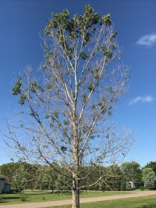 An aspen tree with less than half the leaves it should have because frost damage.