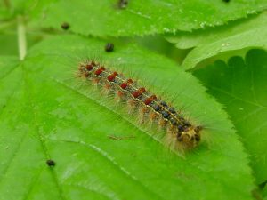 Mature gypsy moth caterpillar with distinctive blue and red dots.