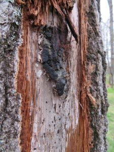 Oak wilt fruiting body formed under the bark, shown here with the bark peeled away. The dark grey lump of stuff is the fruiting body which produces the spores.