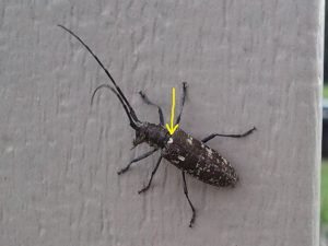Our native Whitespotted Sawyer, or Pine Sawyer, has a white spot at the base of the elytra (yellow arrow) that Asian longhorned beetle does not have.