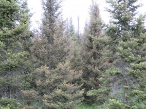 The two center balsam fir are severely defoliated by spruce budworm while the outer two trees are less severely defoliated.
