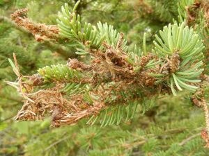 Spruce budworm caterpillars are messy eaters and spin webbing which traps clipped needles and frass.