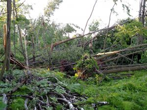 Scattered large trees were uprooted or broken off from the June 11 storm.