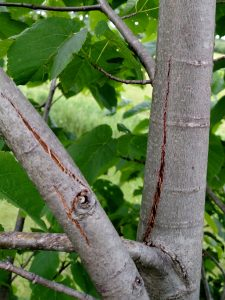 Young trees and branches that are whipped by strong winds may have splitting bark on their branches or trunks. Although the trees will eventually grow over these wounds, the wounds will dry out and probably open up a bit more.