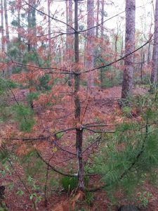 White pine sapling with significant blister rust infection causing resinous, sunken canker, and main stem girdling.