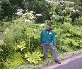 Giant hogweed. Photo by Donna Ellis.