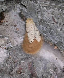 Female gypsy moth lays an egg mass.