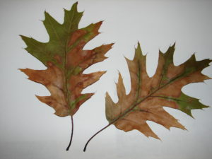 Oak leaves from an oak wilt infected tree. The outer portions of the leaf will be brown or have a water-soaked appearance. Part of the leaf remains green even though the leaf has dropped off the tree.