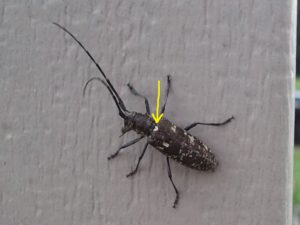 """Our native pine sawyer has a """"spot"""" between the elytra (yellow arrow) that Asian longhorned beetle does not have. They also will appear dusty or pitted."""