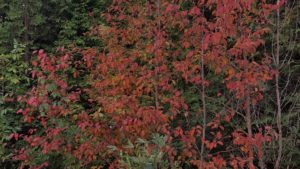 A young black cherry turns red. While some are being defoliated by lacebugs (causing them to turn red), others like this one have very little defoliation.