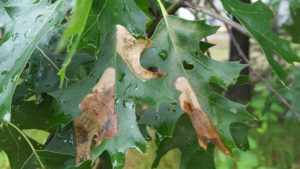 Brown blotches on these oak leaves are not anthracnose. The tiny oak leafminer lives within the leaf, feeding on the leaf material. The damaged area eventually turns brown.