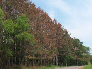 Stand of mature red pine with heavy crown browning from Diplodia shoot blight following a hail storm in June.