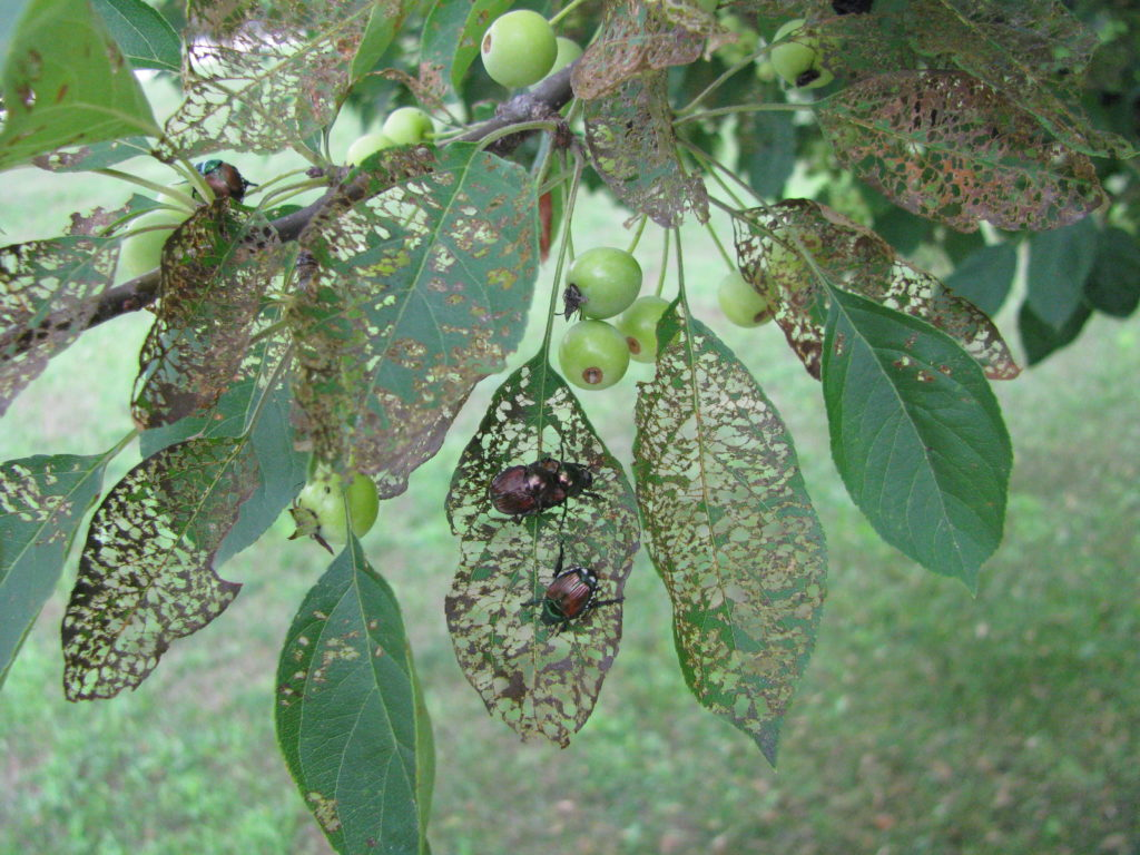 Adult Japanese beetles feed on a wide-variety of plants causing leaves to have a lace-like appearance.