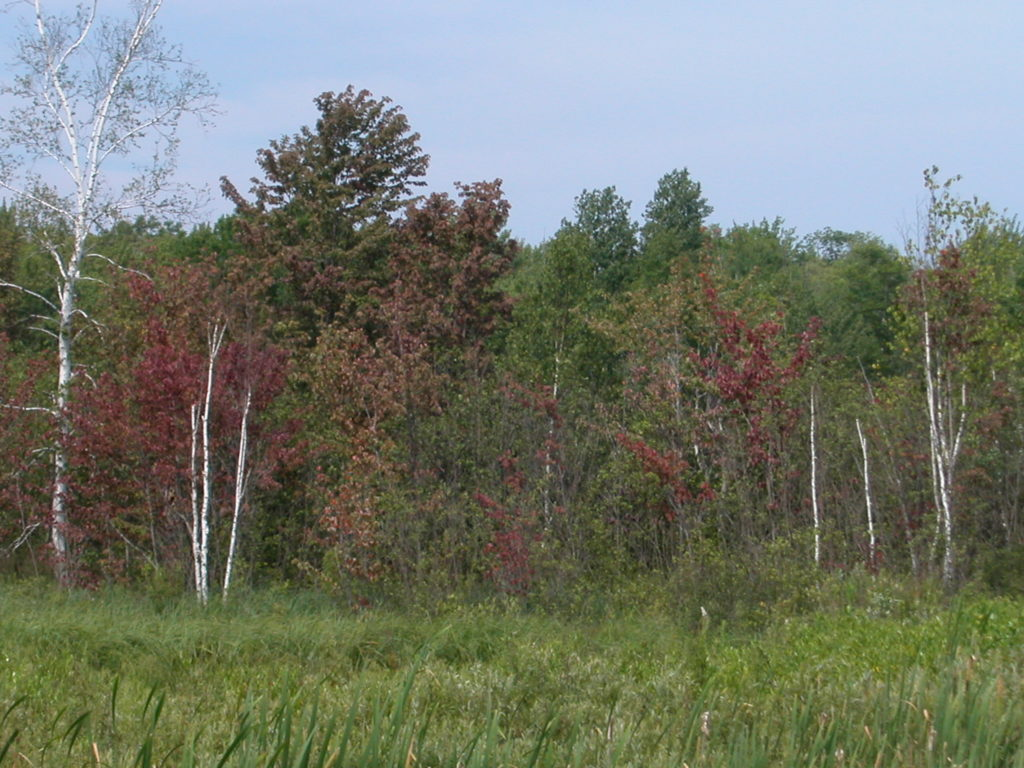 Hardwood leaves turning to fall color