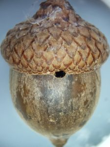 The round hole at the edge of the fallen acorn's cap was created when an acorn weevil larvae chewed its way out to find a place on the ground to overwinter.