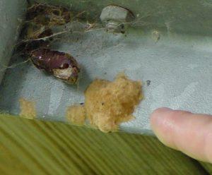 Gypsy moth egg mass.