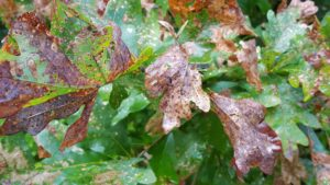 Jumping oak galls caused by tiny wasps form on the underside of white oak leaves.