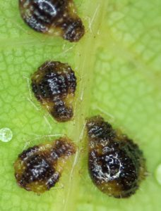These spikey aphids, marked with blotches of brown and tan, are maple aphids.