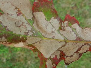 Oak skeletonizer is a tiny caterpillar that feeds on oak by removing just the lower layers of the leaf, leaving the paper-thin upper epidermal layer.