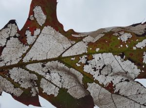 This is the same leaf as above, just being held up to the sky so you can see how there is one very thin layer of leaf left where oak skeletonizer was feeding.