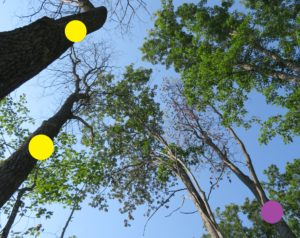 In this photo two oak trees have died from oak wilt (yellow dots). One tree is currently wilting and dropping its leaves (purple dot).