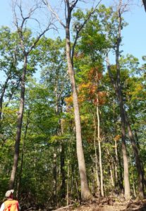 Early-summer logging damage resulted in oak wilt infection of nearly 20 mature n. red oaks. Oaks injured during spring are most vulnerable to infection due to an abundance of viable fungal spores, spore-carrying beetles, and large diameter water-conducting vessels in springwood.